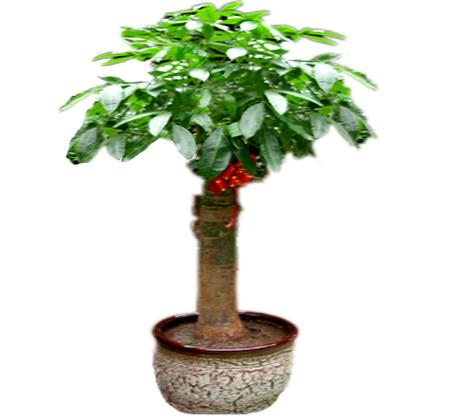 独本发财树