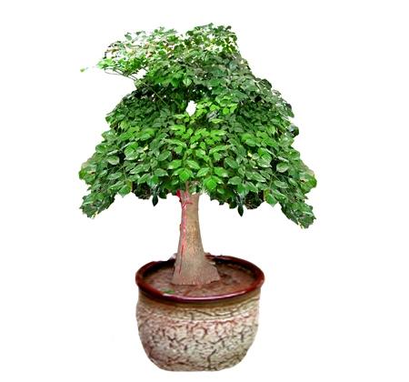 独本幸福树